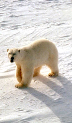 Polar Bear On Glacier