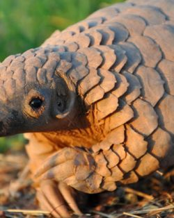 Photo of a pangolin, a species protected under CITES
